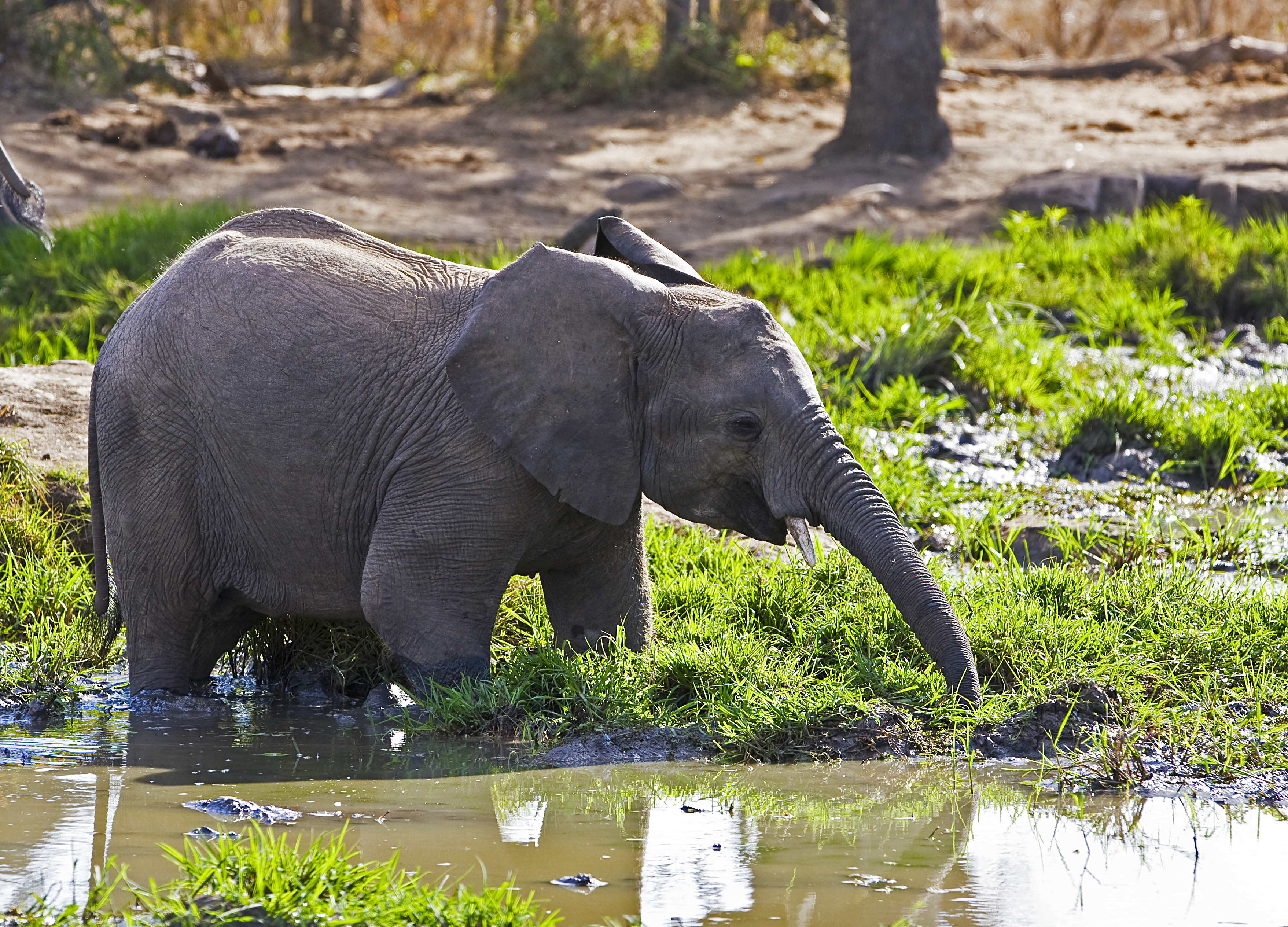 Elephant drinking from a watering hole, Swaziland