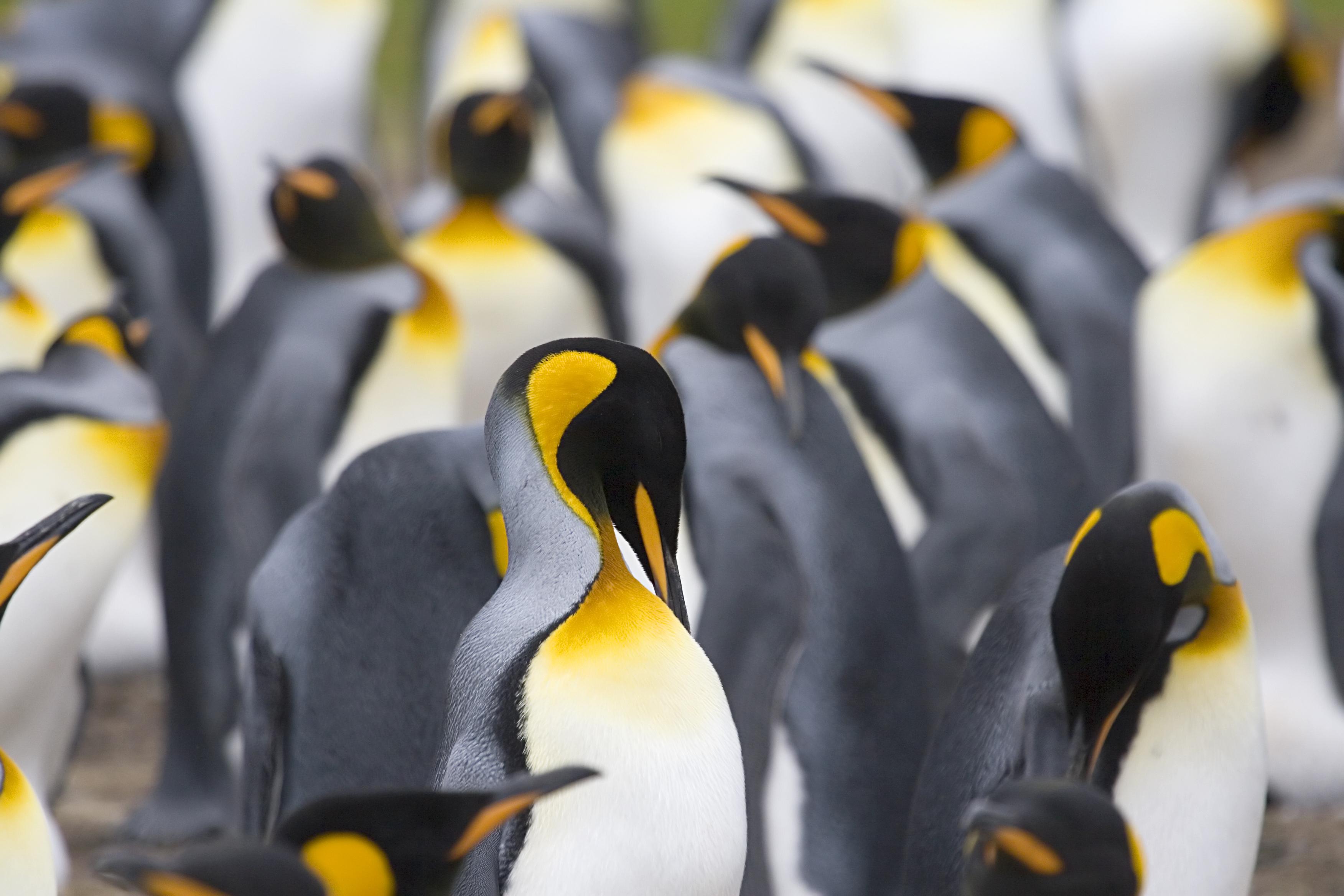 South Georgia has four penguin species