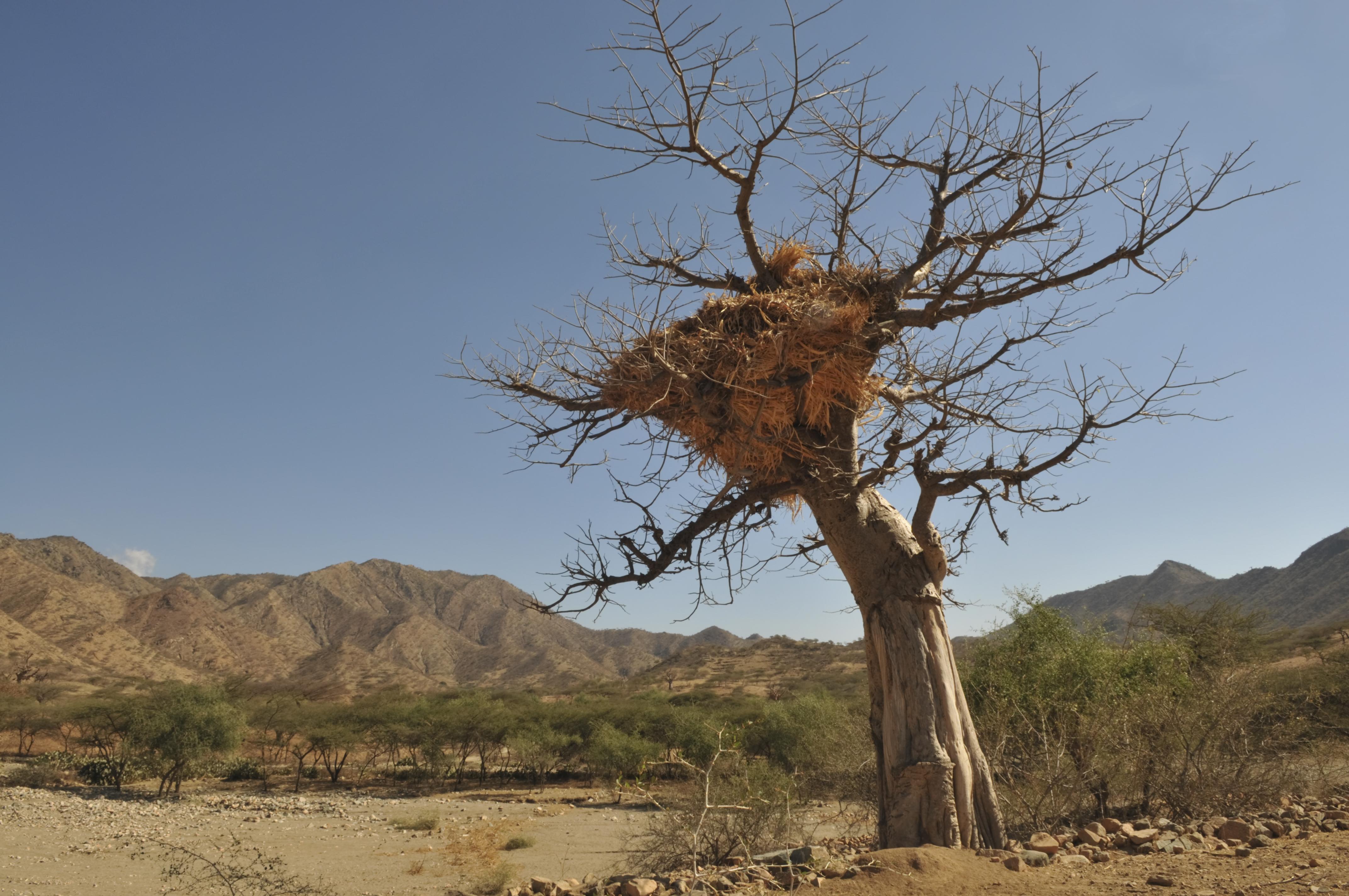 Baobab tree used as a haystack, Eritrea