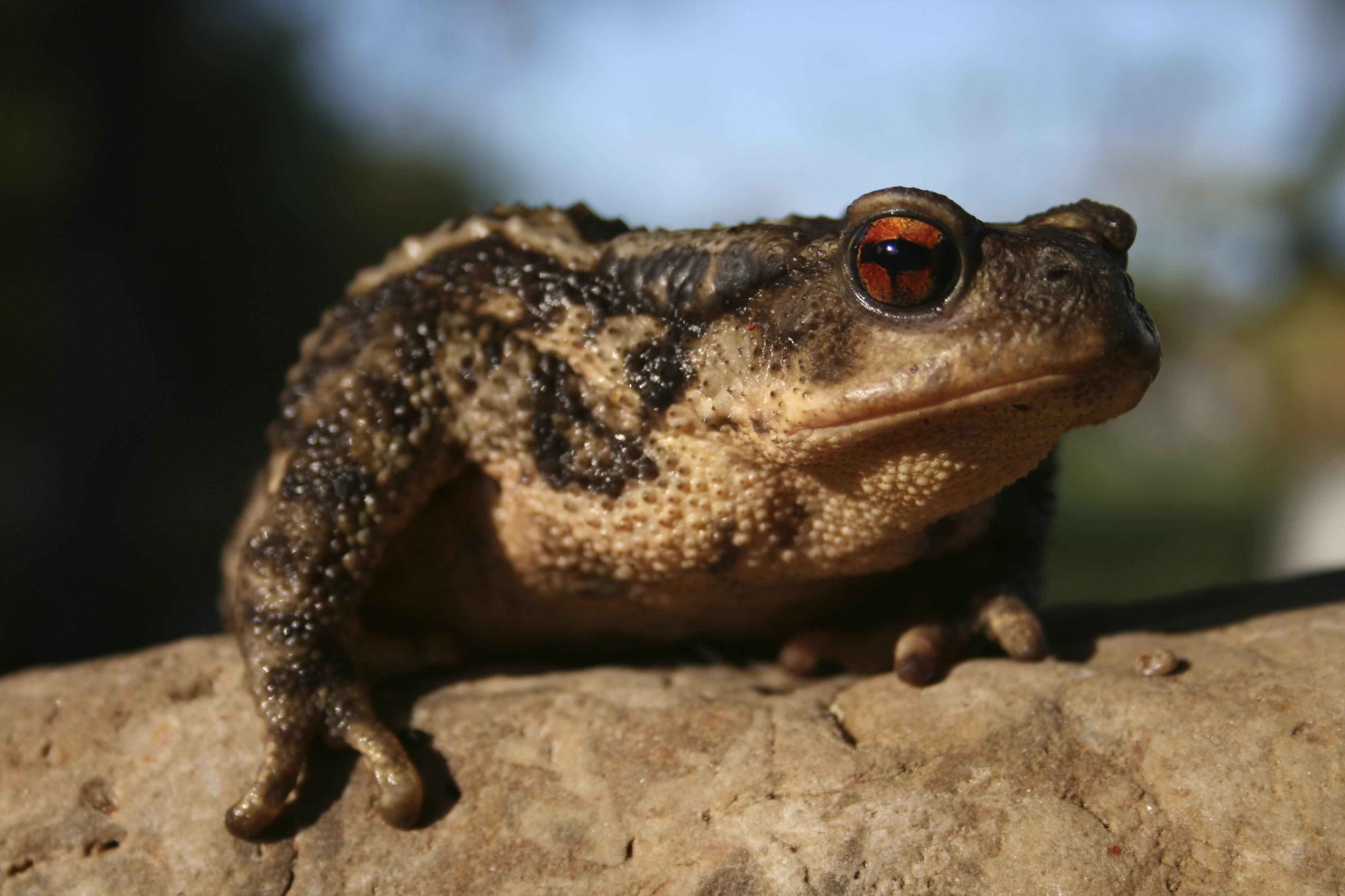 Tropical toad native to Sao Tome e Principe