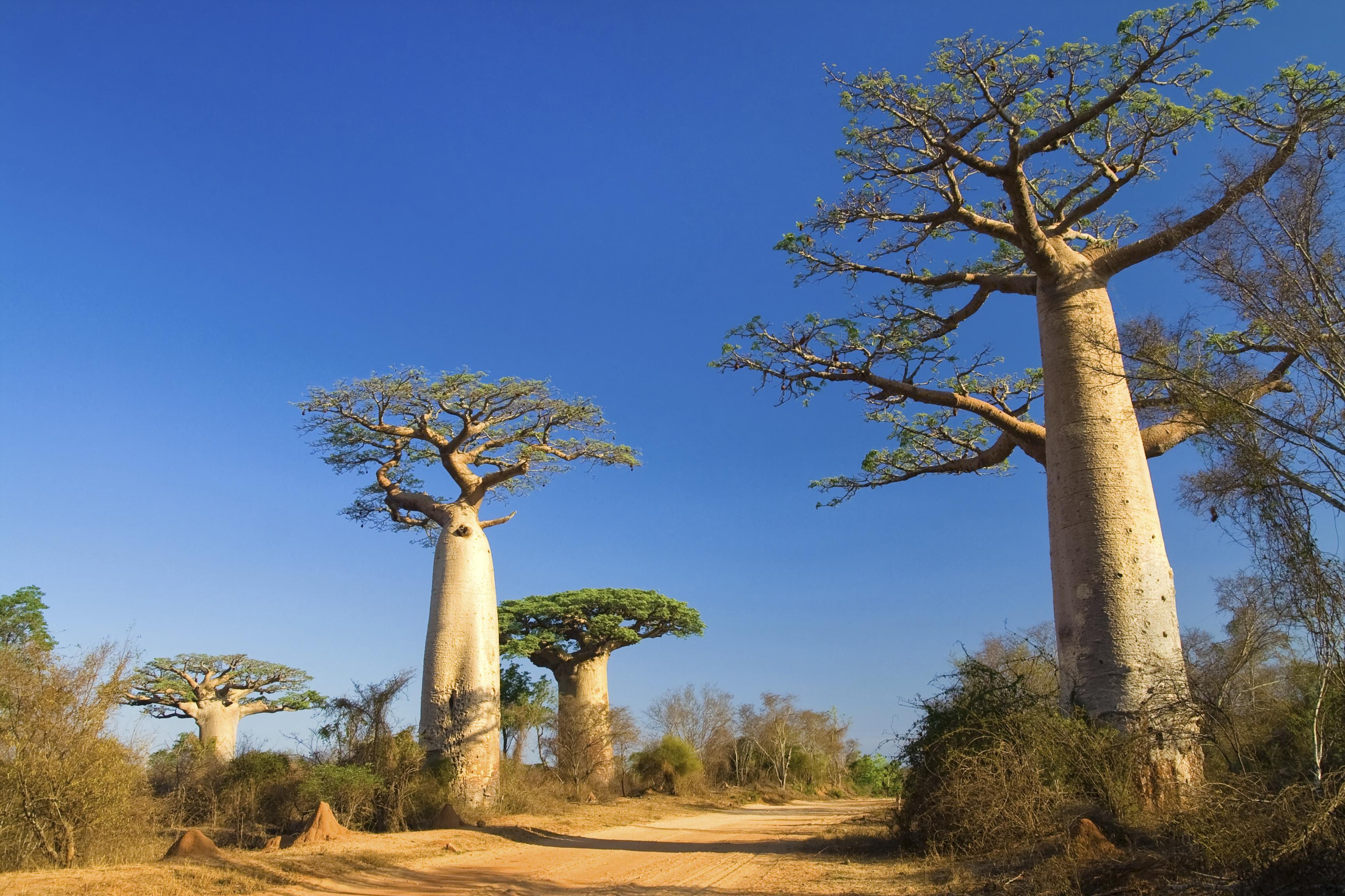 Madagascar's baobab trees