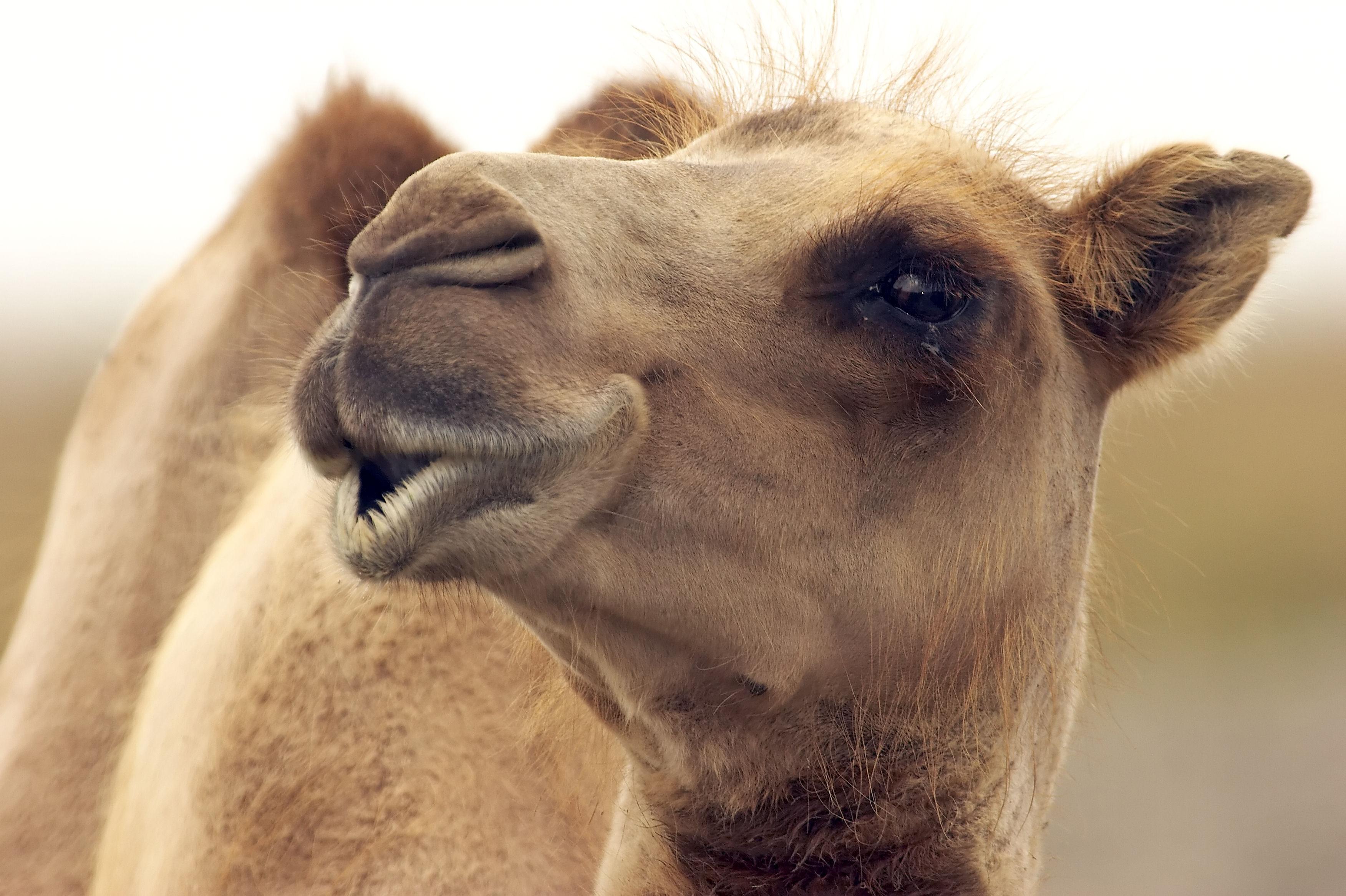 Camel in Kuwait