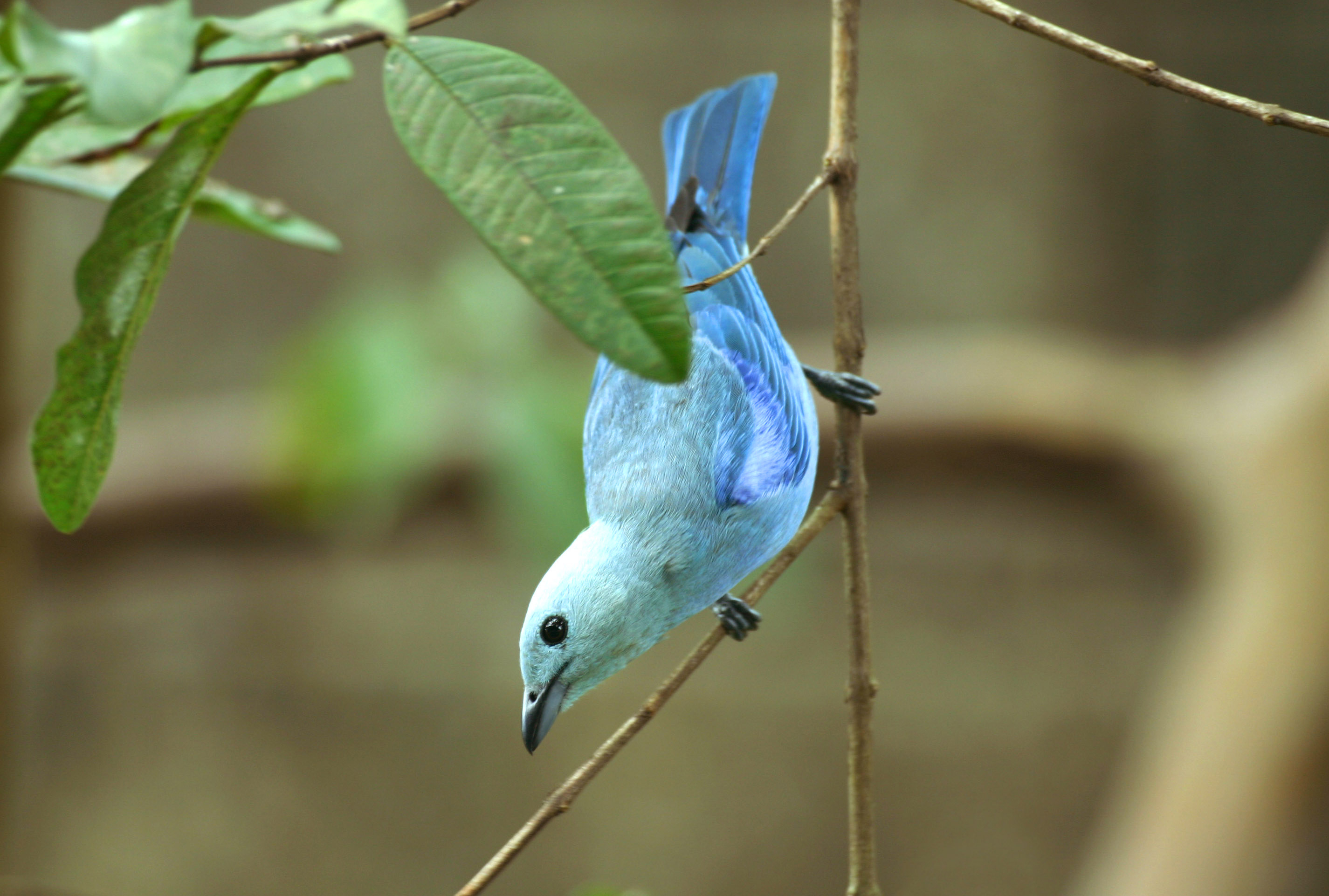 Blue Grey Tanger, Trinidad and Tobago
