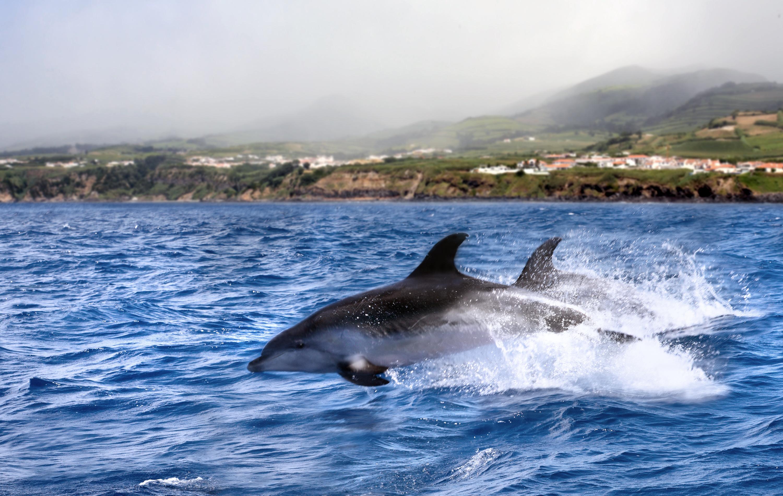 Dolphin spotting, Azores