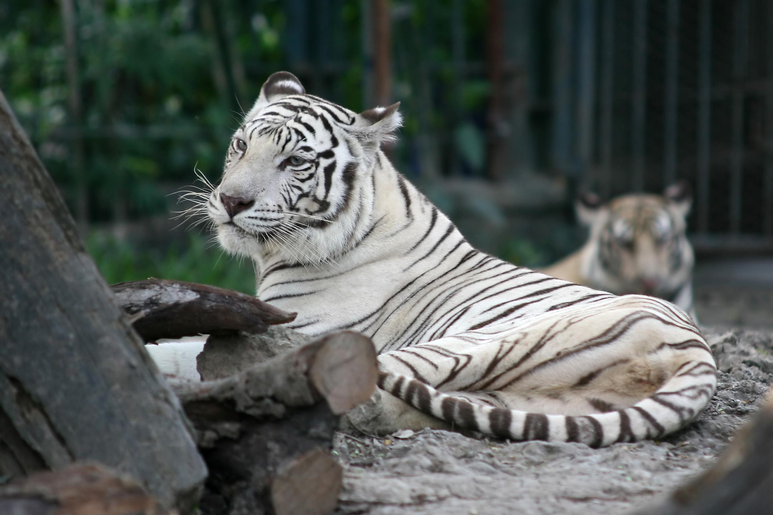 Bengal Tiger, native to Bagladesh