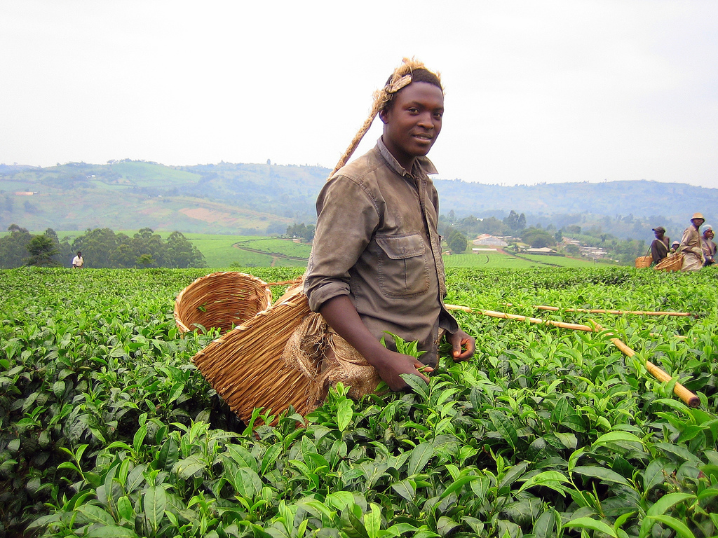 Picking Tea in Uganda