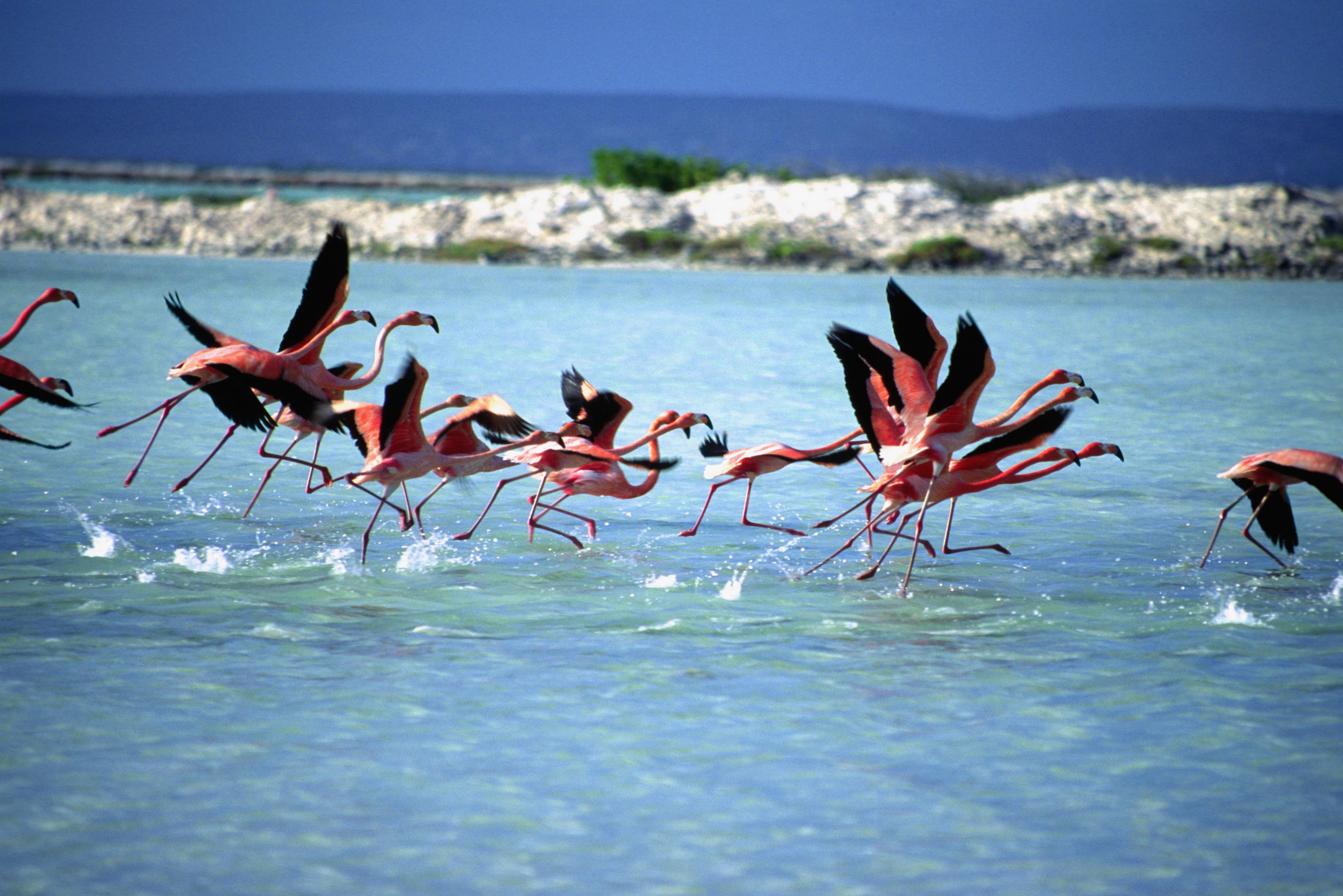 Flamingoes, Bonaire