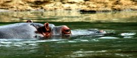 A hippo swims down the Congo